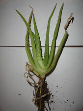 Aloe Vera - Medicine Plant - Very good for Burn, Cough, and much more