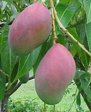 Palmer mango live grafted tree from Puerto Rico