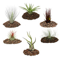 TILLANDSIA AIR PLANT INDOOR HOUSE PLANT AIRPLANT --- NO SOIL REQUIRED---