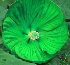 GREEN Giant Hibiscus Flower Seeds Garden & Home Perennial Plants Okra Hibiscus