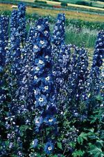 Flower - Delphinium - Pacific Bluebird - 25 Seeds