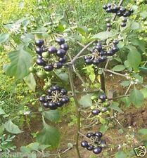 Rare Solanum nigrum, black nightshade,Wonder Berry, Makoi - 25 Seeds pack