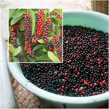 Antidesma thwaitesianum 10 Seeds, Mamao Berry, Rare Berry Fruit Seeds From Thai