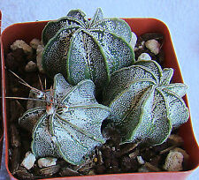 ASTROPHYTUM CAPRICORNE HYBRIDS CACTI 1 3/4 INCHES ON OWN ROOTS