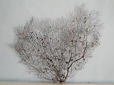 "14.2""x 11.5"" Black Gargonia Sea Fan Fish Tank Seashells Reef Coral"