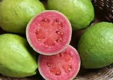 "SIZE (32""- 36"") GUAVA LIVE TREES SEEDLINGS ROSY RED TROPICAL FRUIT FAST SHIPPING"
