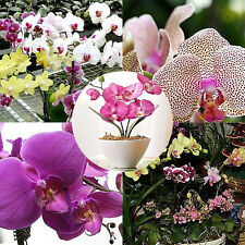 10X New Mixed Color Phalaenopsis Flower Seed Butterfly Orchid Bonsai Plant