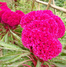 1 Pack 400 Giant Cockscomb Seeds Celosia Cristata Garden Flowers S026