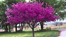 Eastern Red Bud, Cercis Canadensis, (Indiana grown), 15 Tree Seeds