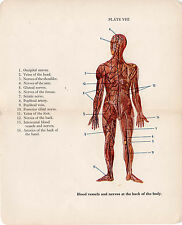 Old Print Blood vessels nerves back body anatomy medical book plate early 1900s