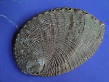 "Sea Shell Seashells 4"" Green Polished Abalone Shell, India"