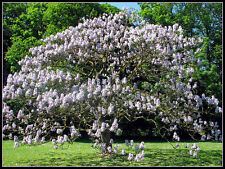 40 graines d'  ARBRE IMPERIAL(Paulownia Tomentosa)G92 EMPRESS TREE SEEDS SEMILLA