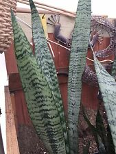 """Sansevieria~ trifasciata """"Mother-in-law-Tongue"""" 20-25"""" Tall 6 Fronds Snake Plant"""