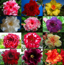 "Adenium Obesum Desert Rose ""Mixed"" 110 Seeds FRESH!"