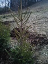 "FAST GROWING NORWAY SPRUCE TREES 25""-30"" Fresh dug 5 year Transplant"