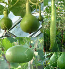 Large Gourd Seed Mix - Large Varieties - Drying Instructions Included -12 Seeds
