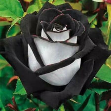200Pcs White + Black Rose Flower Easy Plant Seeds Garden Rare Seeds L7