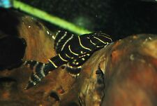 2 x L204 FLASH PLECO aprox 5cm  NOT ZEBRA PLECO LIVE  TROPICAL FISH