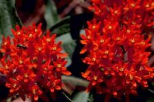 30+ DEEP RED BUTTERFLY WEED FLOWER SEEDS  / ASCLEPIAS/ PERENNIAL / GREAT GIFT