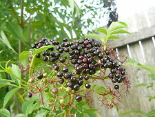 1X Black Elderberry plant / SAMBUCUS NIGRA FRUIT TREE