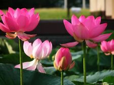 Bonsai Lotus / Nenúfar flower/bowl-pond lotus/5 las semillas frescas / Pink Lady Lotus
