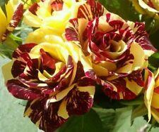 5 graines rosier rare bicolore jaune et rouge