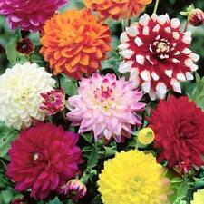 DAHLIA MIXED 50 SEEDS  (FLOWER SEEDS)