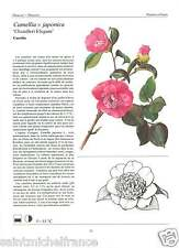 Camélia du Japon Camellia japonica Rose of winter/ Catharanthus rose Plant FICHE