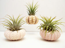 3 Beautiful Air Plants Sea Urchin Kit Nautical Gift Beach Find Decor Coastal