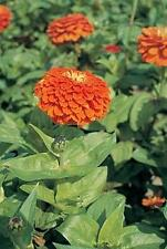 Zinnia Benary Giant Orange Annual Seed