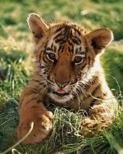 Baby Tiger / Cub 8 x 10 GLOSSY Photo Picture IMAGE #10