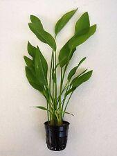 Echinodorus argentinensis - Amazon Sword Live Aquarium Plants Java Moss Fern ADA