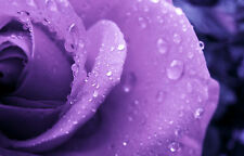 Framed Print-Purple Rose Covered with Rain Drops (Flower Petals Picture Poster)
