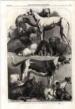 1862 Harrison Weir Prize Dogs Islington Show