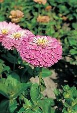 Zinnia Benary Giant Lilac Annual Seeds