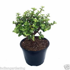 Live Jade Plant in Pot Height 6-8 inches