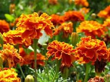 Organic Marigolds-Sparky Mix-25+seeds,fragrant Beneficial to vegetable gardens!