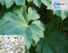 DR T&T Tong Cao /Rice Paper Pith /Tetrapanax 100g  dry herb