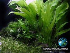 Amazonicus x3 - Live aquarium plant fish tank BS