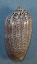 OLIVA SPICATA 55.99mm BEAUTIFUL SPECIMEN North of La Paz, Baja Sur, Mexico