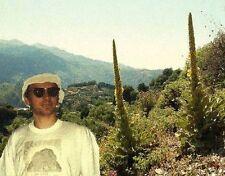 Größte einheimische Blume Königskerze bis 3 M. hoch reich & lange blühend /Samen