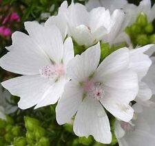 30+ Malva White Appleblossom   Perennial Flower Seeds