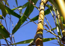 "'Moso of the North' Bamboo - Phyllostachys kwangsiensis - 4"" Pot"
