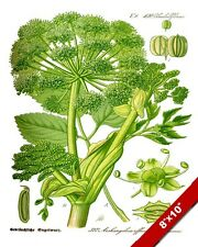 WILD CELERY ANGELICA HERB PLANT ILLUSTRATION PAINTING ART REAL CANVAS PRINT