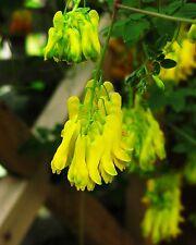 Kletternde Herzblume•10 Samen/seeds•Dactylicapnos (Dicentra) scandens•winterhart