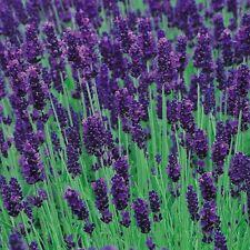 Lavender Hidcote Blue - 25 Seeds  Herb - Perennial - Fragrant Flowers