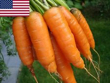 Carrot Seeds- Scarlet Nantes Heirloom- 1,000+ 2017 Seeds     $1.69 Max. Shipping