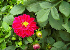 50 Mini Colorful Dahlia Seeds Dahlia Pinnata Ornamental Garden Flowers A030