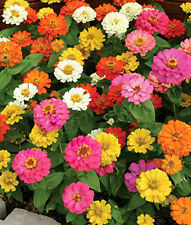 "50+ HEIRLOOM ANNUAL FLOWER SEEDS - DWARF  ZINNIA - ""THUMBELINA"" SHORTER VARIETY!"