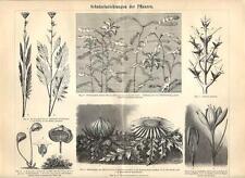 Stampa antica FIORI e PIANTE CON SPINE botanica 1890 Old antique print